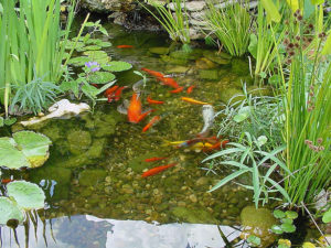 Keeping Pond Water Clear