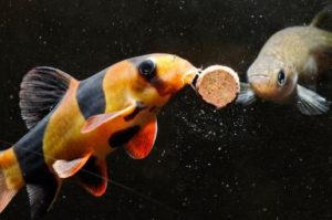 Aquarium Fish Feeding Tips