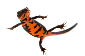 Fire Bellied Newt Care Sheet