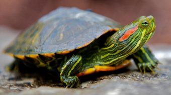 Red Eared Turtle Care Sheet